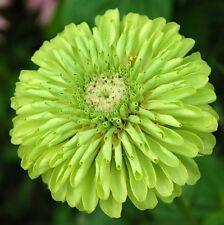 FLOWER ZINNIA GIANT ENVY (GREEN) 3.0 GRAM ~ APPROX 360 FINEST SEEDS