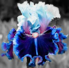 2 Iris Resistant Perennial Bearded Fragrant Reblooming Flowers Rare Beautifying