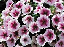 Petunia Seeds 25 Pelleted Seeds Opera Supreme Raspberry Ice Trailing Petunia