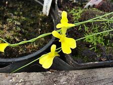 Utricularia prehensilis living bladderwort -carnivorous plant