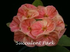 """Crown of Thorns, Euphorbia 'Milii' """"PINK LADY"""" Plant"""