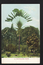 c1907 Sm undivided Travellers Palm Tree Hawaii landscape postcard