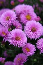 Aster H6 (-20 to -15 °C) Perennial Flowers & Plants