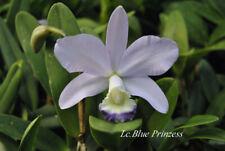 Orchidee Cattleya - Blue Prinzess -  Schöne Große Pflanze Blühstark
