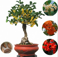 20 Pcs Seeds Osmanthus Fragrans Bonsai Sweet Olive Tree Cultivated Plants Garden