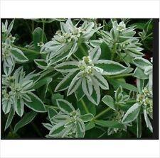 15 seeds Euphorbia Marginata Snow on the Mountain Spurge Kilimanjaro Bulk