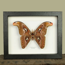 Male Atlas Moth in Box Frame (Attacus atlas)  insect taxidermy