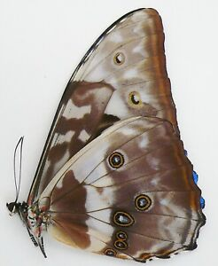 MORPHO CYPRIS CYPRIS FROM MUZO, COLOMBIA