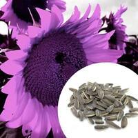 Nouveau Sac Rare Purple Graines De Tournesol Belle Fleur Maison Jardin