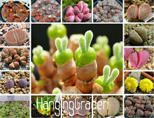 Rare Mix Lithops Seeds Living Stones Succulent Cactus Seeds - 100 Pcs