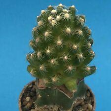 2065. Mammillaria roczekii on Myrt. 4.2 cm Ø / aztekium uebelmannia astrophytum