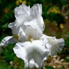"1 Tall Bearded Iris ""Immortality"" -Fragrant and Reblooming -Lg. Rhizome, size #1"