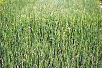 ALFALFA SPROUTS,HEIRLOOM,ORGANIC, NON-GMO, 500 ALFALFA SPROUT SEEDS