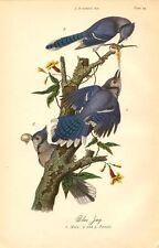 Rare 1888 Antique Audubon Bird Print ~ Blue Jay ~ Excellent Details!