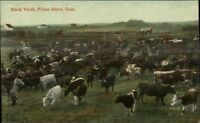 Prince Albert Saskatchewan Stock Yards Cattle c1910 Postcard