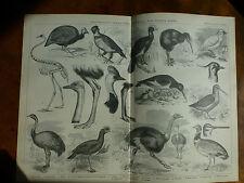 1874 Incisione Ornitologia-graffi, in esecuzione & Guado Birds Gallo Cedrone a Nandu