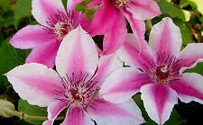 Waldrebe Clematis Hybride Carnaby 60-100cm großblumiger Sommerblüher