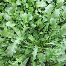 1000 pcs Capsella bursa-pastoris wild vegetables Seeds