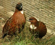 20+ Tennessee Red Quail Hatching Eggs