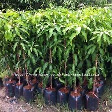 50cm Grafted Plant Mango tree 1 Nam Dok Mai var. and 1 Nam Dok Mai #4 var.