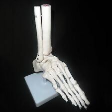 Life Size Foot Joint Anatomical Model Skeleton - Human Medical Anatomy