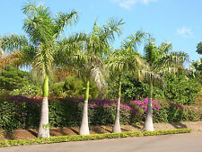 Cuban Royal Palm - ROYSTONEA REGIA - 15 Seeds - Tropicals
