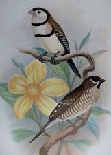 foreign fiinches  Lithograph by.frohawk1904 BICHENO'S & CHERRY FINCH