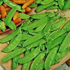 Gemüse Erbse Oregon Zucker Topf 150 Samen