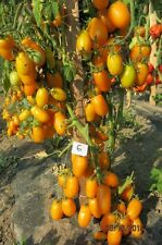World most productive tomatoes -Yellow Highly Productiv Tomato » 7 fresh seeds