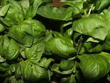 200 Graines BIO de Basilic Vert 'Genovese' Italien à Grande Feuille