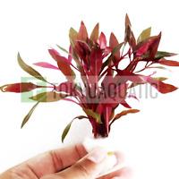 Alternanthera Reineckii Bunch Scarlet Temple Freshwater Live Aquarium Plants Red