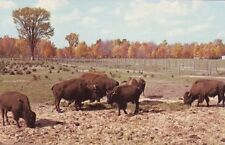 MI Wolverine Game Haven Wild Life Ranch BUFFALO HERD Michigan postard