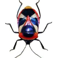 Catacanthus nigripes ONE REAL RED MASK SKULL FACE SHIELD BUG INDONESIA