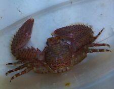 1 Porcelain Crab Robbie's Corals Live Porcelain Crab Reef Safe