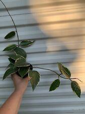 Hoya macrophylla Var. plant in a 4�pot (not For California)