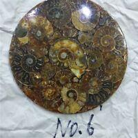 Half Cut Ammonite Shell Jurassic Fossil Disc with Stand Madagascar 150MM