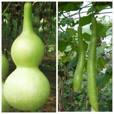 Seeds Rare Lagenaria Long-Handle Gourds Giant Flower Organic Heirloom