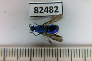 82482*****Hymenoptera sp. Vietnam North*****
