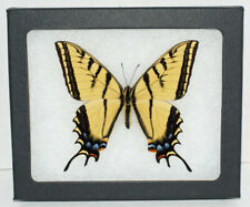 Real Framed Butterfly Papilio Multicaudata in Riker Mount.Two Tailed Swallowtail