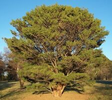 Pinus densiflorus JAPANESE RED PINE TREE Seeds!
