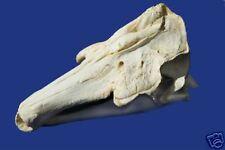 Narwhal Skull Replica