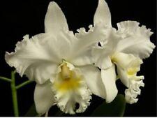 Cattleya C.Vickie Andrews `R.J.M.' New lead In Sheath very Overgrown preflowered