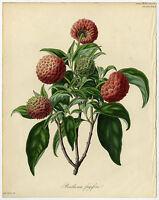 Rare Antique Print-STRAWBERRY-BENTHAMIA-DOGWOOD-HORT. SOCIETY-Drake-Say-1834