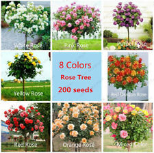 100Pcs Seeds Roses Rosa Tree Plants Viable Rare Kind Beautiful in Home Garden