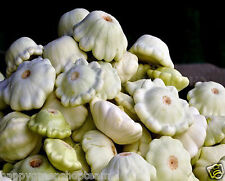 PATTY Pan Squash-Conchiglia Bianco f1 - 60 Semi