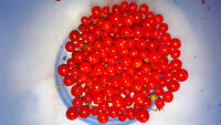 rote kleine Wildtomate , Johannesbeertomate, Urtomate, 5 mm groß, lange Trauben