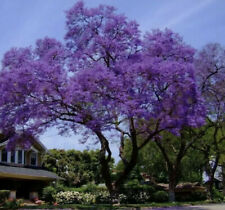 Jacaranda mimosifolia (Jacaranda Tree) 30 seeds - Fresh Harvest 2020 - Bonsai
