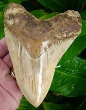 Megalodon Shark Tooth - 5 & 1/2 in. DEEP ORANGE BOURLETTE - NATURAL = SYDNI
