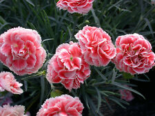 Pinks Dianthus SCENT FIRST® Coral Reef x 5 jumbo plug plants
