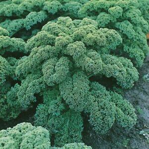 Organic Curly Kale Plug Plants x6 Westland Winter Green Hardy Vegetable Peat Fre